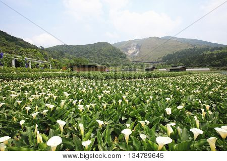 Calla lily,many beautiful white flowers blooming in the countryside with blue sky,arum lily,gold calla