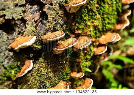Selective focus lingzhi mushrooms grawth on wood