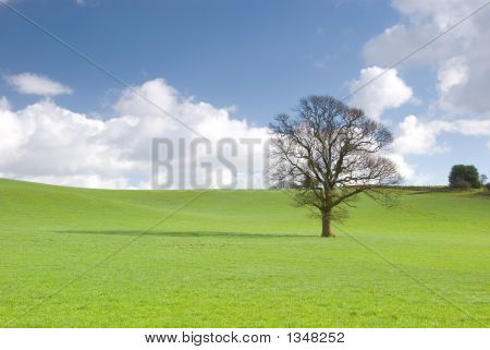 Lone Tree In A Green Meadow With Blue Sky And Fluffy Clouds