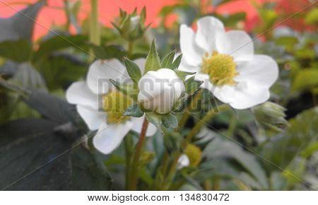 A szamócavirág szépsége a természetben ahogy a bimbózó virág mögött állnak a kifejlődött virágok.. gyönyörű.