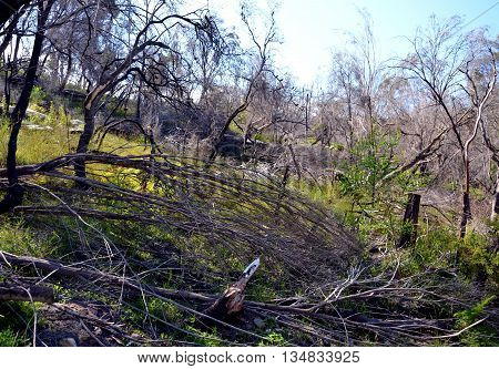 Bent and broken bough after a big storm. Dry trees in the bush.