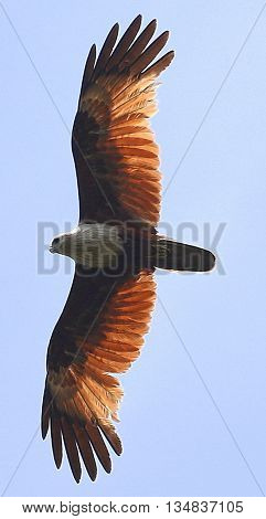 Brahminy Kite soaring above swamp near Songkhla, Thailand