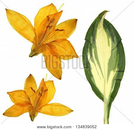 pressed orange Lilly flowers isolated on white background dry leaf of Hosta Golden Meadows