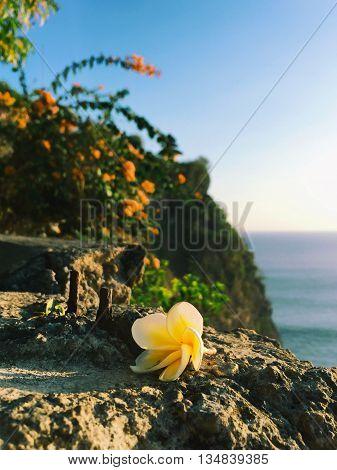 Frangipani flower on rock photo, frangipani flower on grey concrete, tropical flower on stone, plumeria flower photo