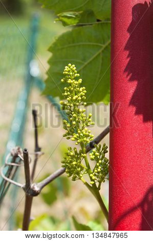 Young branch of grapes on the nature. Growing grapes in the vineyard. Growing wine for sale. Young grapes on the vine.