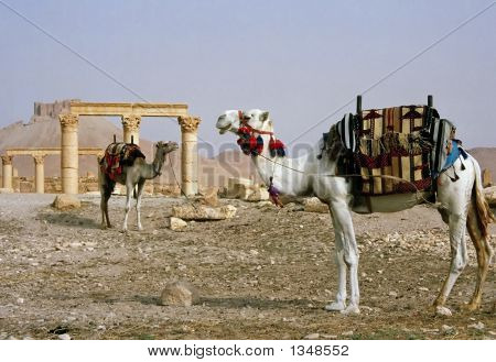 camels in the desert palmyra syria in the middle east poster