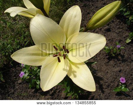 Asiatic hybrids lilium 'Apollo' white-green flower and bud.