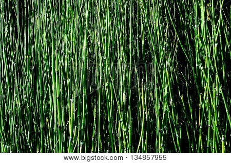 Equisetum debile Roxb.ex Vauch. (Horsetail) for background or texture