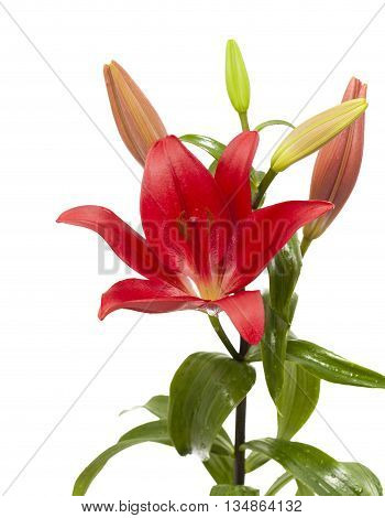 Dark Red Lily Flower Isolated