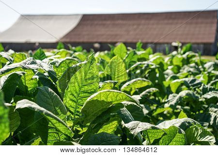 Tobacco leaves field with big green leaves in the tropical sun ready for harvest poster