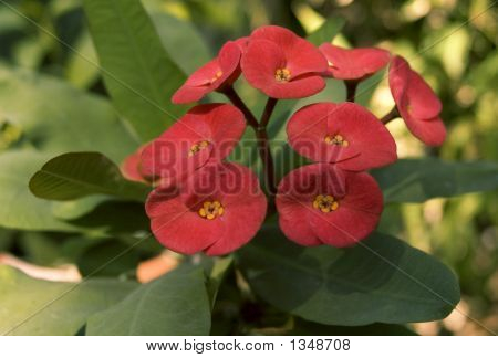 Red Euphorbia Flower