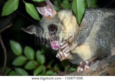 Australian Brushtail Possum (Trichosurus vulpecula) eating and holding some fruit, sitting in a tree