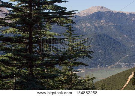 Lebanese cedar pinecone in the forest, Turkey