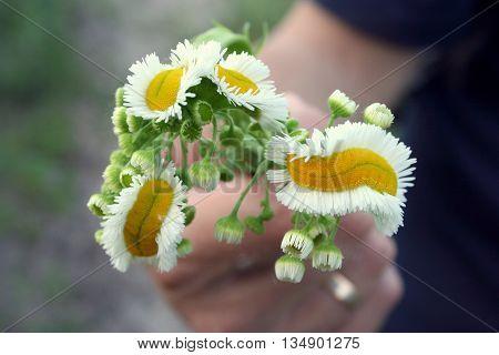 Bouquet of three long mutated daisies weird daisies