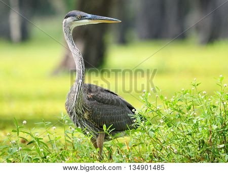 A Great Blue Heron wading in a lush, green Louisiana swamp