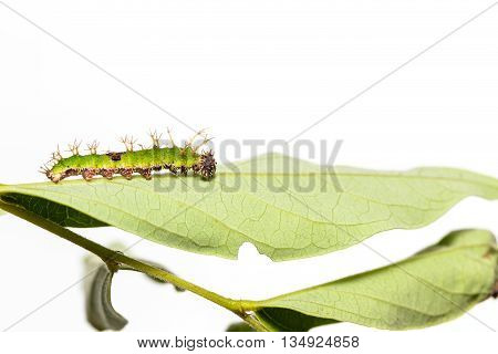 Caterpillar Of Colour Segeant Butterfly In Latest Instar