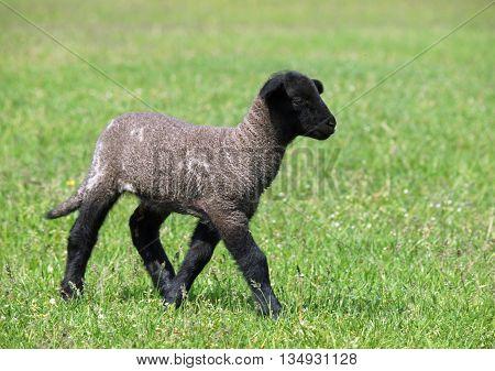 Little suffolk lamb on a green pasture