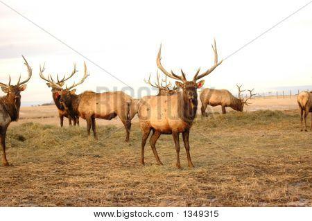 Elk 8