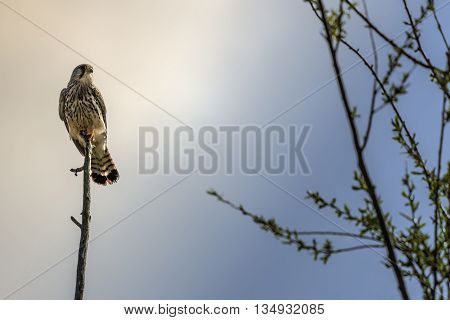 Kestrel Resting End Of The Day On Branch
