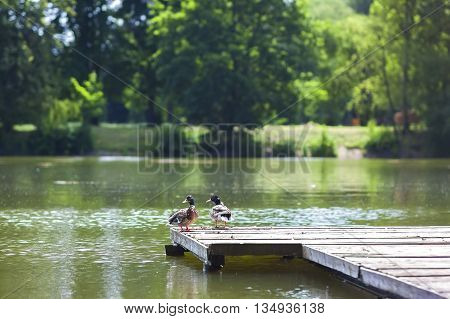 Two ducks resting on a wooden wharf on a sunny day