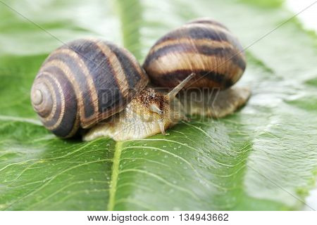 Brown Snails On Green Leaf, Close Up