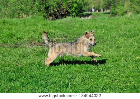 Dog running on the grass. The dog, mongrel, young, male.