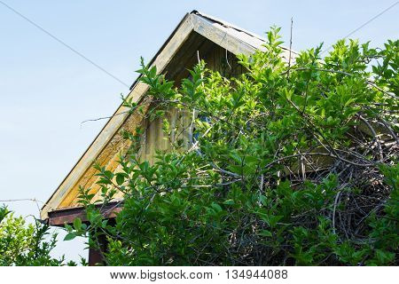 Grape vine next to yellow house made of wood