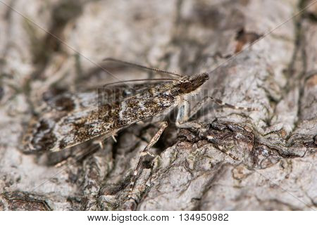 Eudonia mercurella micro moth. Small insect in the family Crambidae subfamily Scopariinae well camouflaged at rest against bark