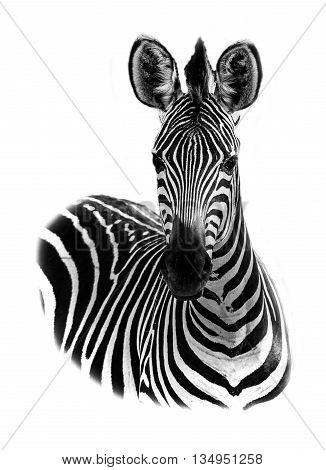 Creative edit Zebra portrait in high key