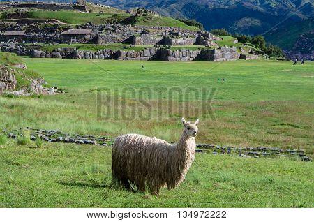Lama At Sacsayhuaman In Cuzco, Peru.