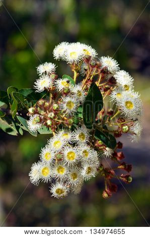 Cluster of white and yellow gumtree (Angophora hispida) flowers in the Australian bush