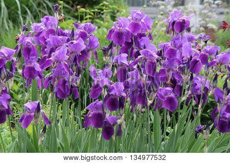 Blue flag flower (Iris versicolor) growing in a small flower garden