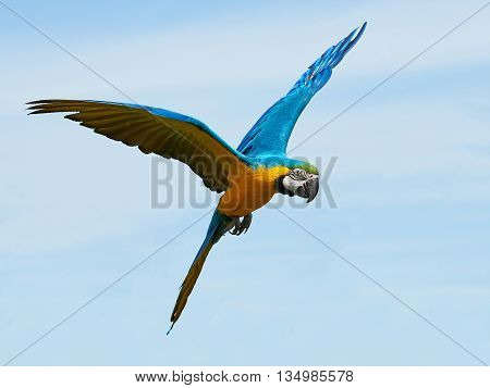 Blue and yellow Macaw (Ara ararauna) in flight with blue skies in the background