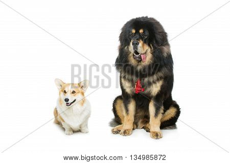 Beautiful adult welsh pembroke corgi and Tibetan mastiff dogs sitting. Isolated over white background. Copy space. poster