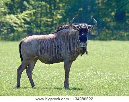 Blue wildebeest (Connochaetes taurinus) standing in grass in its habitat