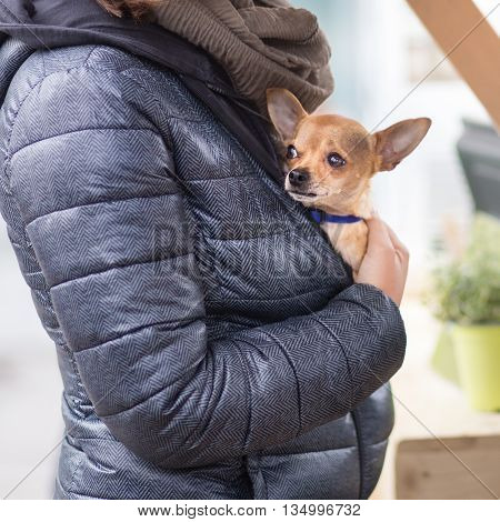 Woman holding a tiny chihuahua in her lap.