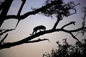 silhouetted leopard in a tree at dusk. poster