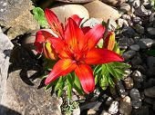 red lily blooming in a rock garden with gravel poster