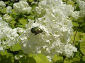 European cranberrybush 'Roseum' white flowers with green chafer beetle. poster