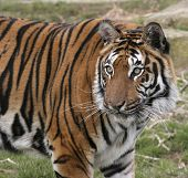 this royal bengal tiger was photographed at the wildlife heritage foundation in the uk. poster