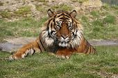 this beautiful sumatran tiger was photographed at the wildlife heritage foundation in the uk. the whf is a conservation breeding programme for big cats. poster