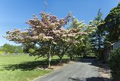 Chinese Fringe Tree blossoming in mid-June at Haskell Gardens in New Bedford Massachusetts poster
