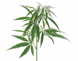 The cannabis plant marijuana plant isolated on white background. isolate