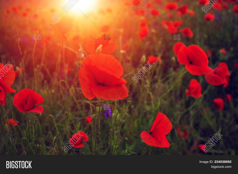 Wild poppy flower image photo free trial bigstock wild poppy flower at sunset symbol of remembrance mightylinksfo