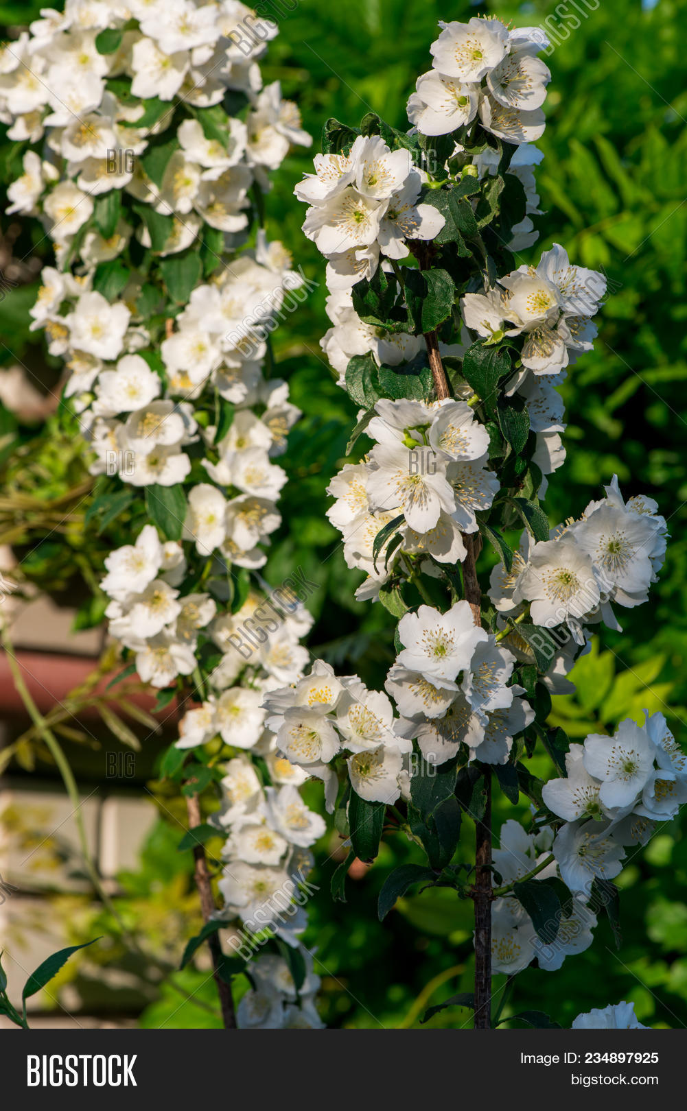 Jasmine Flowers Image Photo Free Trial Bigstock