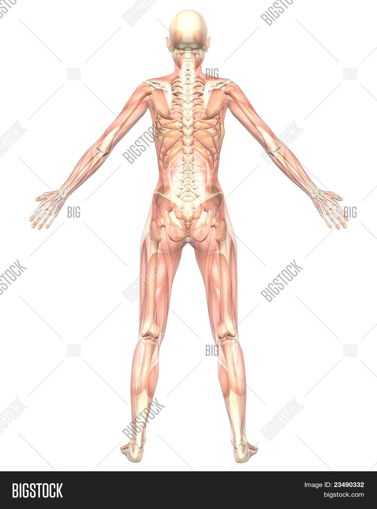 Imagen y foto Anatomí Muscular Femenina Semi | Bigstock