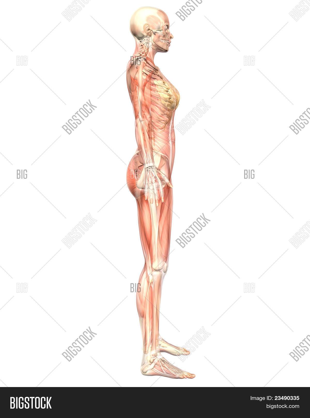 Female Muscular Image Photo Free Trial Bigstock