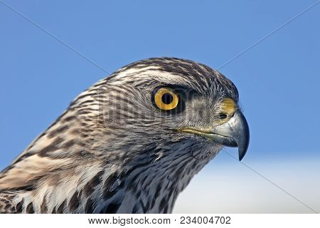 Closeup Of The Head Of A Hawk On A Blue Background With A Clear View Of The Plumage, Predatory Look