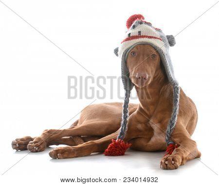 male pharoah hound wearing winter hat on white background