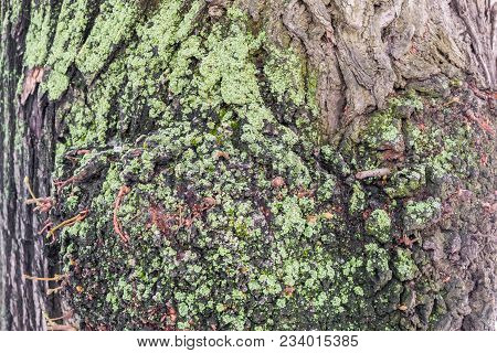 A Fragment Of Old Mossy Oak Bark, Furrowed By Cracks.
